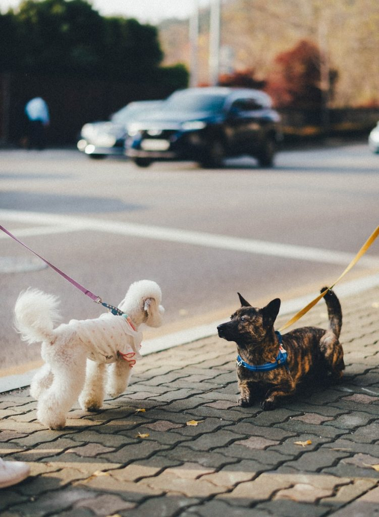 brown and black short coated small dog with white long coat small dog on gray concrete